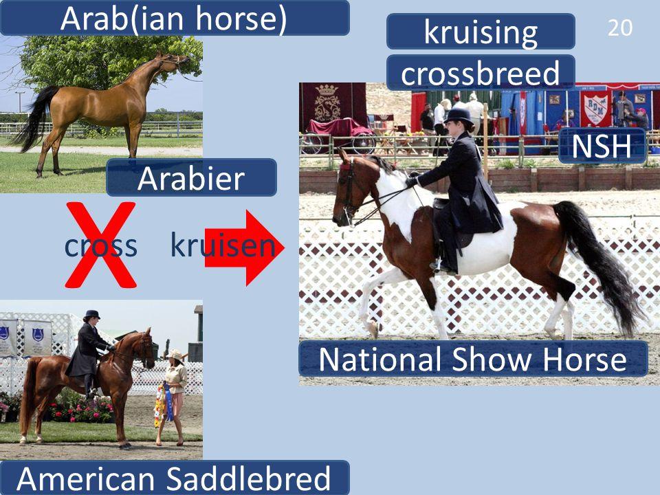 20 NSH National Show Horse American Saddlebred Arab(ian horse) crossbreed x crosskruisen kruising Arabier