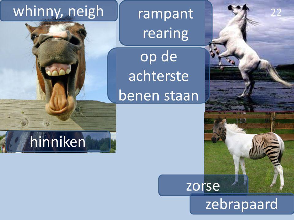 22 whinny, neigh hinniken zorse zebrapaard rampant rearing op de achterste benen staan