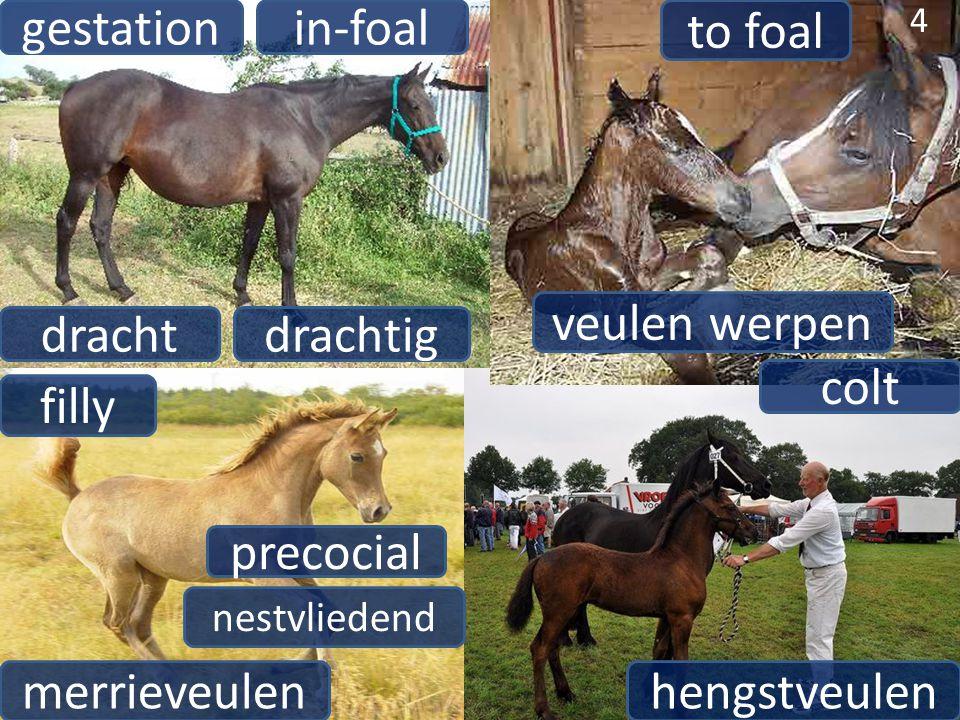 drachtig in-foal 4 gestation dracht veulen werpen to foal hengstveulen 4 colt merrieveulen filly precocial nestvliedend