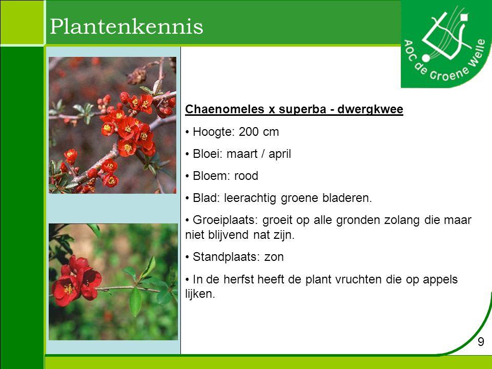 Plantenkennis Chaenomeles x superba - dwergkwee Hoogte: 200 cm Bloei: maart / april Bloem: rood Blad: leerachtig groene bladeren.