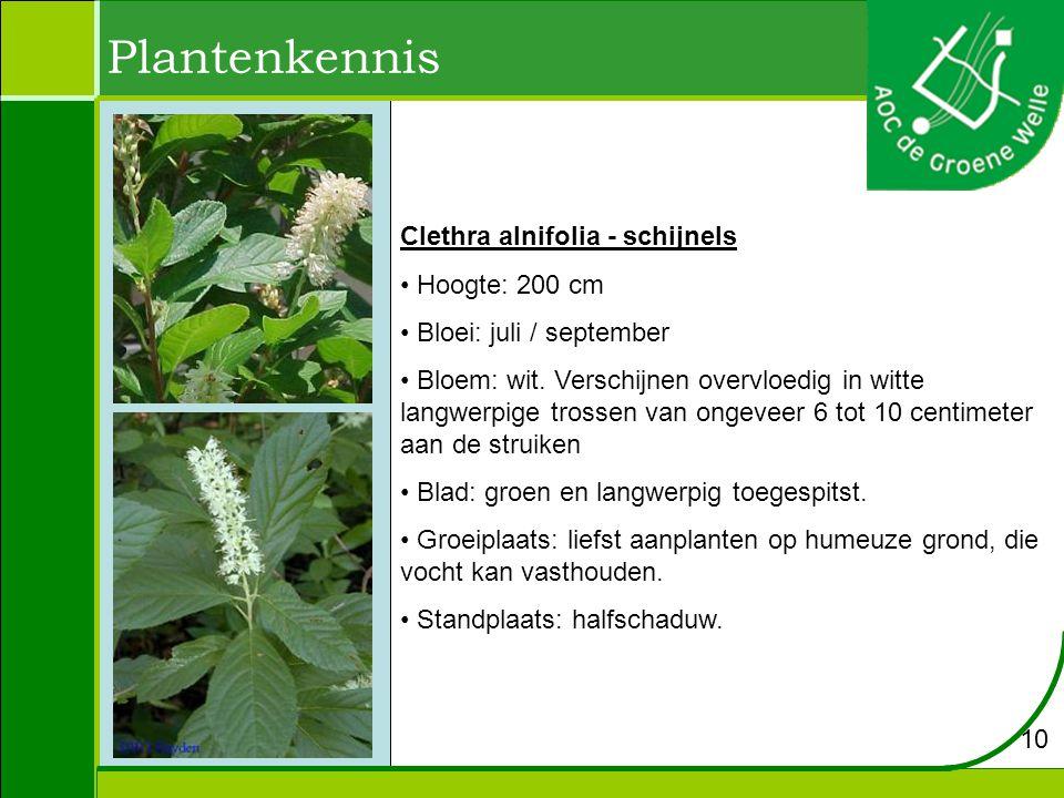 Plantenkennis Clethra alnifolia - schijnels Hoogte: 200 cm Bloei: juli / september Bloem: wit.