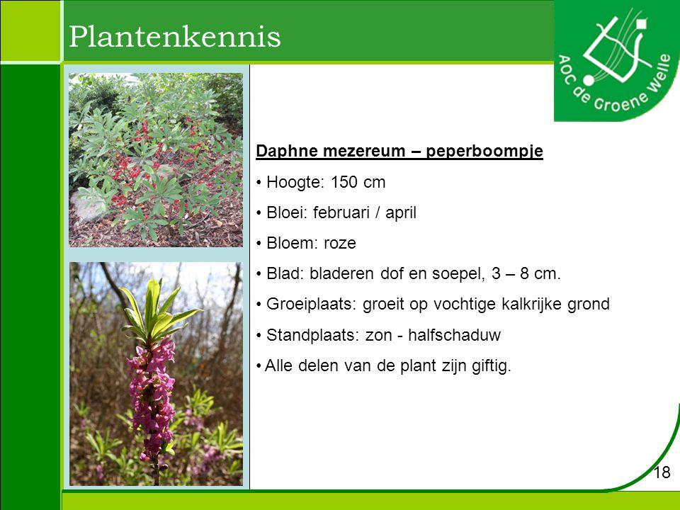 Plantenkennis Daphne mezereum – peperboompje Hoogte: 150 cm Bloei: februari / april Bloem: roze Blad: bladeren dof en soepel, 3 – 8 cm.