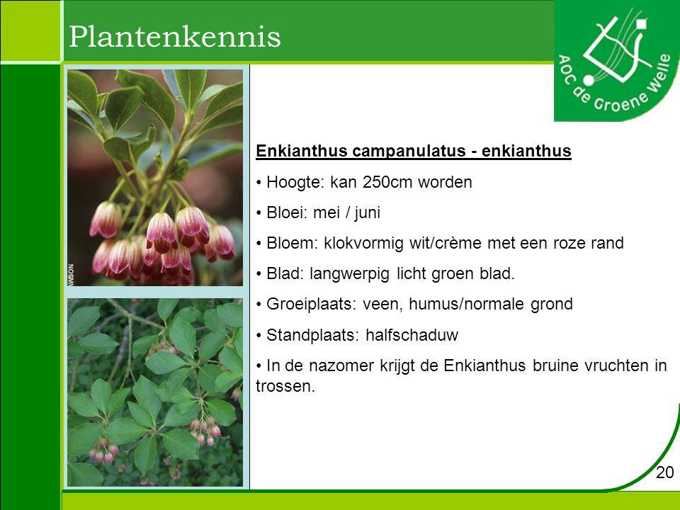Plantenkennis Enkianthus campanulatus - enkianthus Hoogte: kan 250cm worden Bloei: mei / juni Bloem: klokvormig wit/crème met een roze rand Blad: langwerpig licht groen blad.