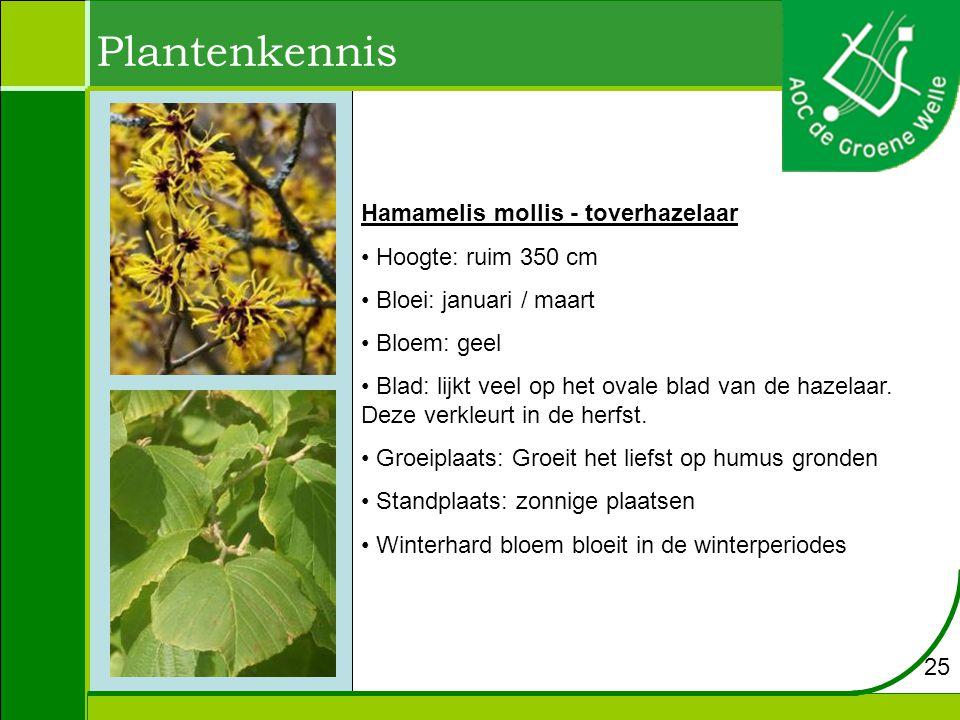 Plantenkennis Hamamelis mollis - toverhazelaar Hoogte: ruim 350 cm Bloei: januari / maart Bloem: geel Blad: lijkt veel op het ovale blad van de hazelaar.