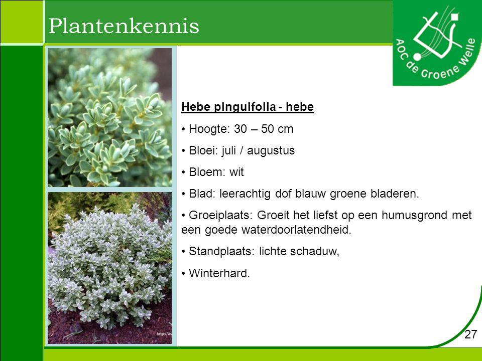 Plantenkennis Hebe pinguifolia - hebe Hoogte: 30 – 50 cm Bloei: juli / augustus Bloem: wit Blad: leerachtig dof blauw groene bladeren.