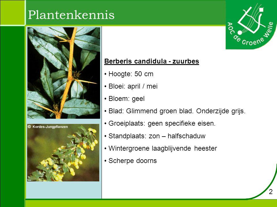 Plantenkennis Berberis candidula - zuurbes Hoogte: 50 cm Bloei: april / mei Bloem: geel Blad: Glimmend groen blad.