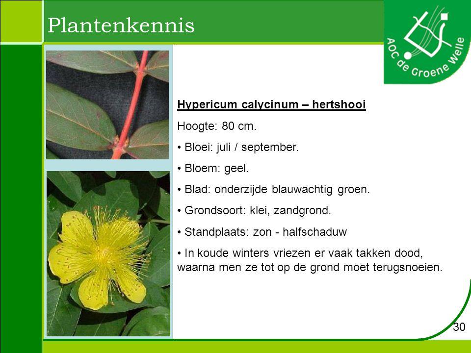 Plantenkennis 30 Hypericum calycinum – hertshooi Hoogte: 80 cm.