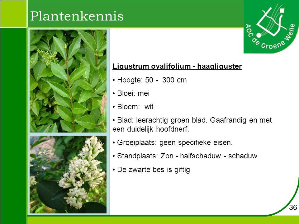 Plantenkennis Ligustrum ovalifolium - haagliguster Hoogte: 50 - 300 cm Bloei: mei Bloem: wit Blad: leerachtig groen blad.