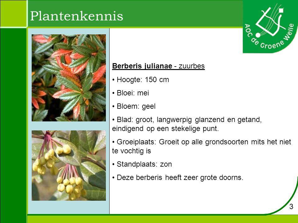 Plantenkennis Berberis julianae - zuurbes Hoogte: 150 cm Bloei: mei Bloem: geel Blad: groot, langwerpig glanzend en getand, eindigend op een stekelige punt.