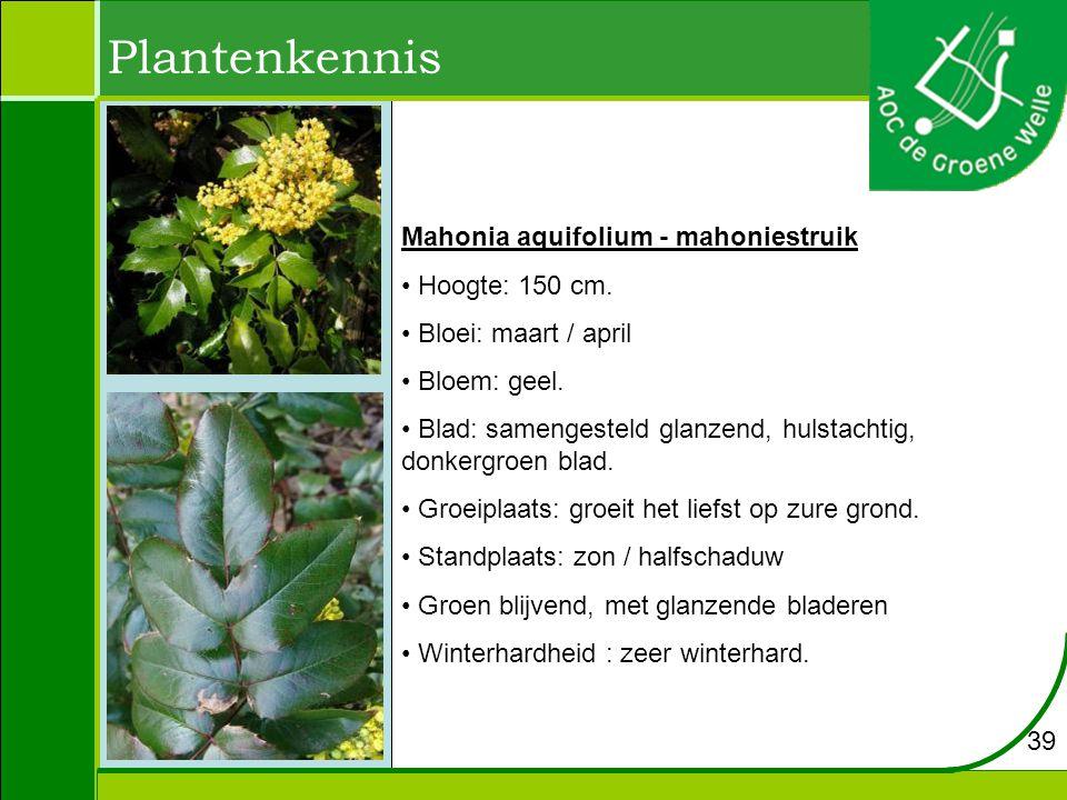 Plantenkennis Mahonia aquifolium - mahoniestruik Hoogte: 150 cm.