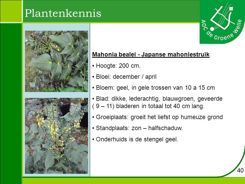 Plantenkennis Mahonia bealei - Japanse mahoniestruik Hoogte: 200 cm.