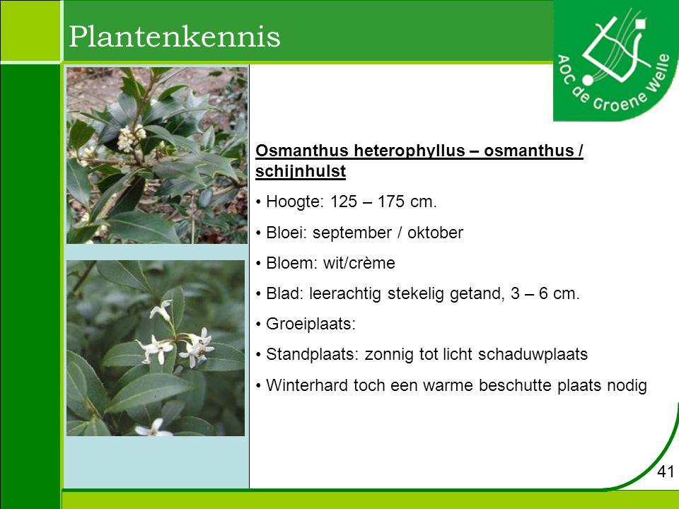 Plantenkennis Osmanthus heterophyllus – osmanthus / schijnhulst Hoogte: 125 – 175 cm.