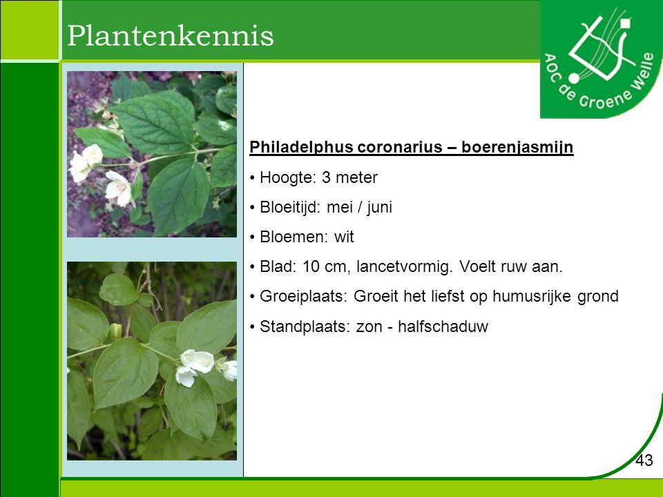 Plantenkennis Philadelphus coronarius – boerenjasmijn Hoogte: 3 meter Bloeitijd: mei / juni Bloemen: wit Blad: 10 cm, lancetvormig.