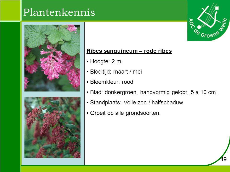 Plantenkennis Ribes sanguineum – rode ribes Hoogte: 2 m.