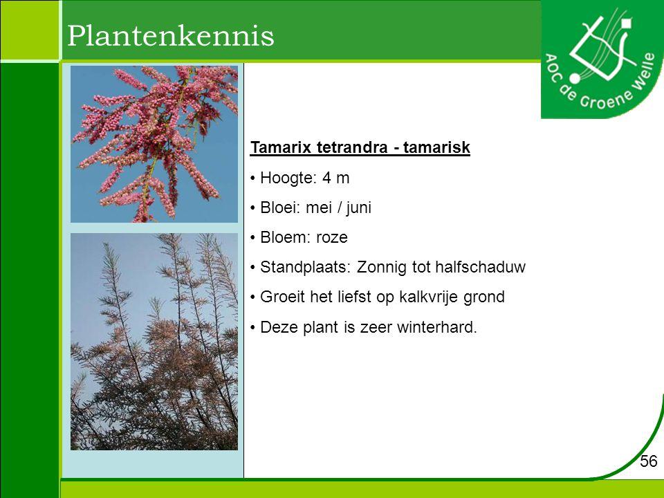 Plantenkennis Tamarix tetrandra - tamarisk Hoogte: 4 m Bloei: mei / juni Bloem: roze Standplaats: Zonnig tot halfschaduw Groeit het liefst op kalkvrije grond Deze plant is zeer winterhard.