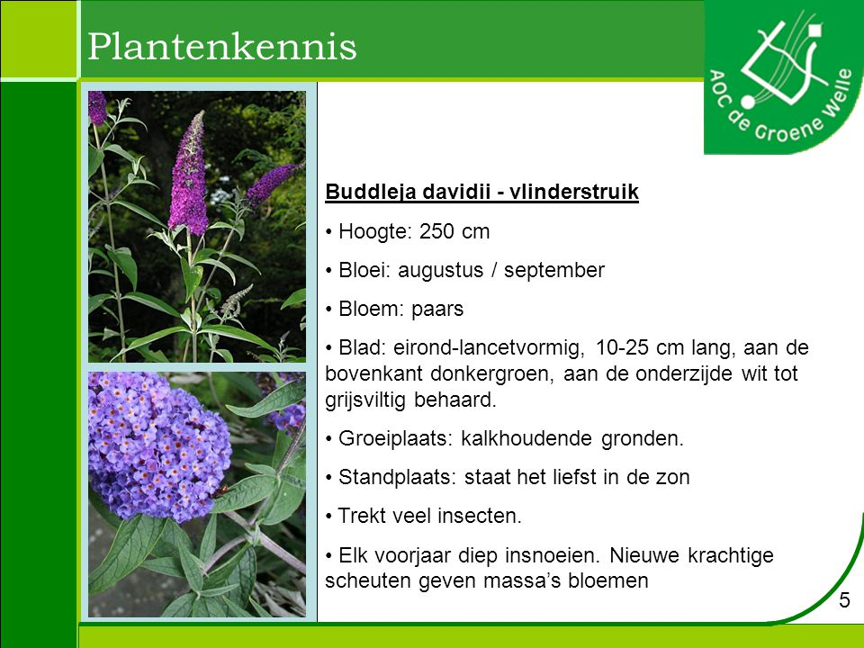 Plantenkennis Buddleja davidii - vlinderstruik Hoogte: 250 cm Bloei: augustus / september Bloem: paars Blad: eirond-lancetvormig, 10-25 cm lang, aan de bovenkant donkergroen, aan de onderzijde wit tot grijsviltig behaard.