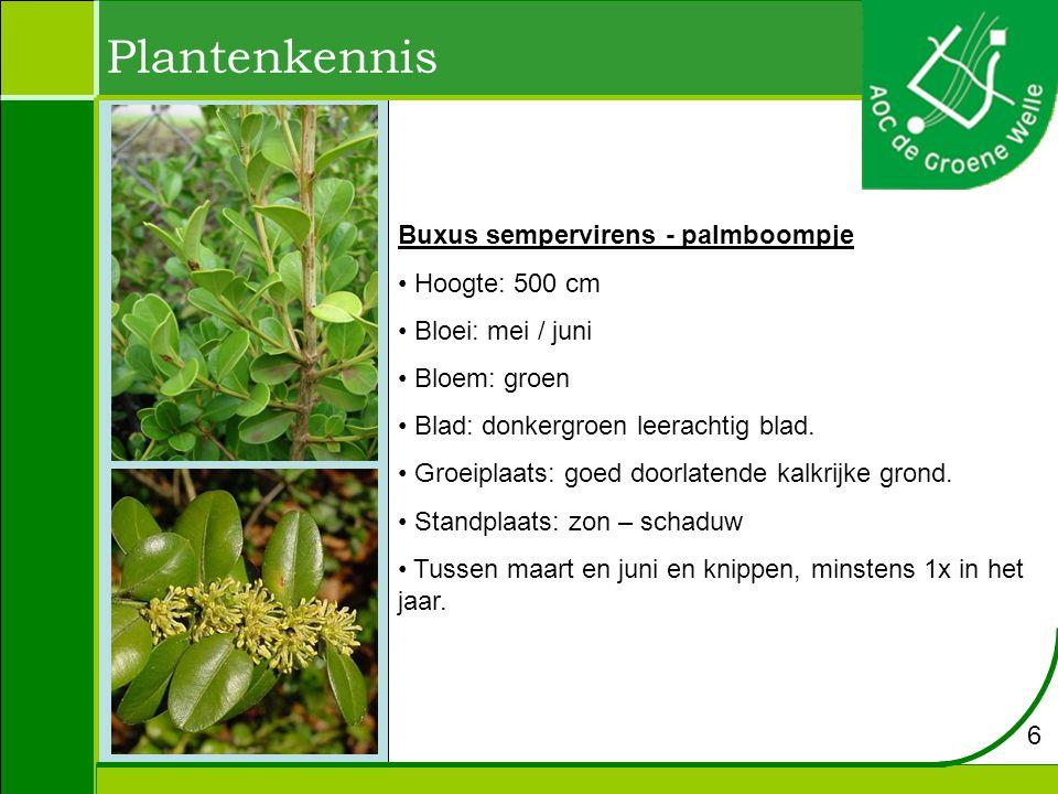 Plantenkennis Viburnum davidii - viburnum Hoogte: 50 cm Bloei: mei / juni Bloem: wit Standplaats: Zonnig Bladeren donkergroen leerachtig 5 – 12 cm.