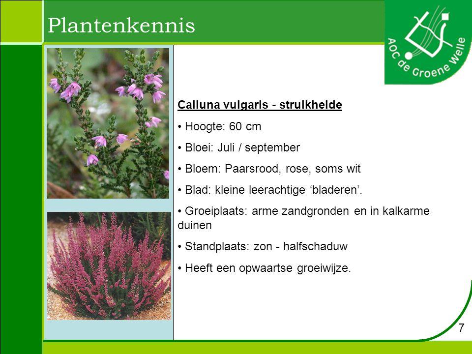 Plantenkennis Hibiscus syriacus - althaeastruik Hoogte: 3 m Bloei: juli / augustus Bloem: blauw Blad: Blad is drielobbig, grootte 4 – 8 cm.