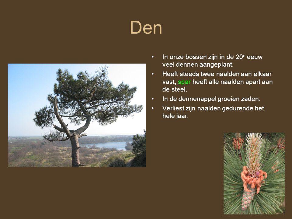 Den In onze bossen zijn in de 20 e eeuw veel dennen aangeplant.