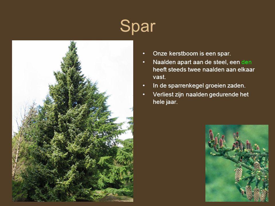 Spar Onze kerstboom is een spar.