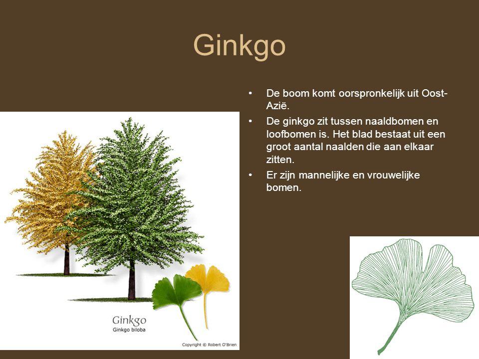 Ginkgo De boom komt oorspronkelijk uit Oost- Azië.