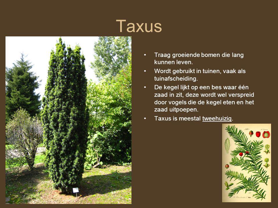 Taxus Traag groeiende bomen die lang kunnen leven.