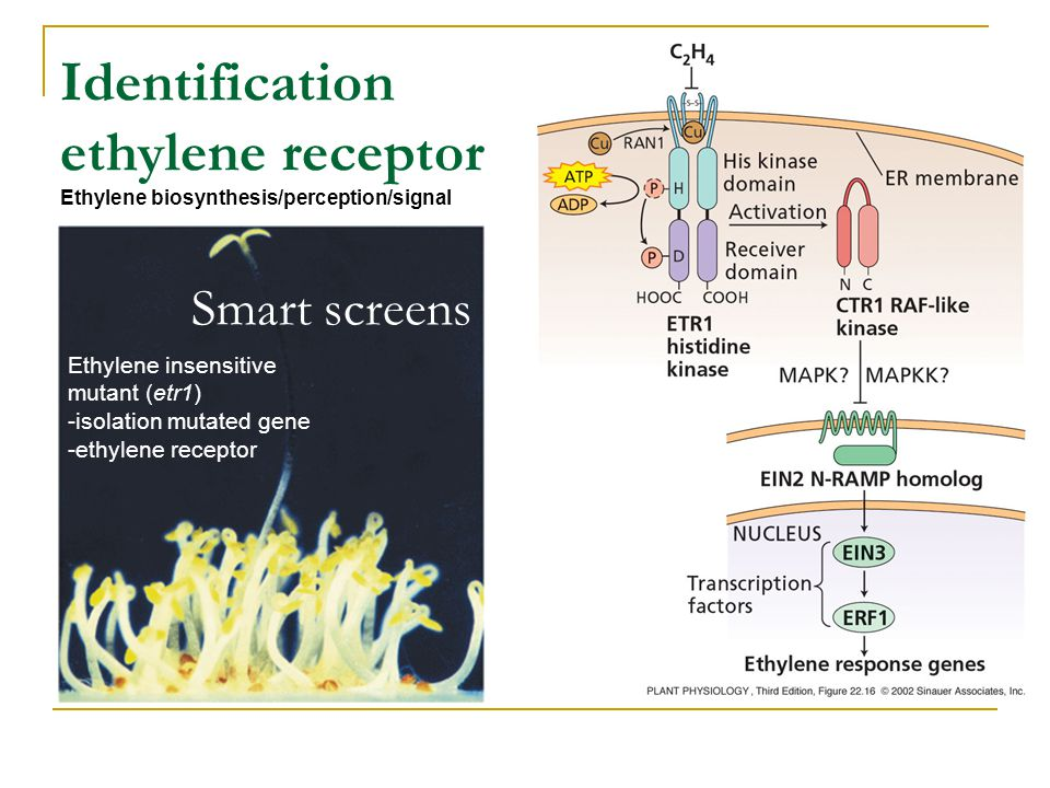 Identification ethylene receptor Ethylene biosynthesis/perception/signal Ethylene insensitive mutant (etr1) -isolation mutated gene -ethylene receptor Smart screens