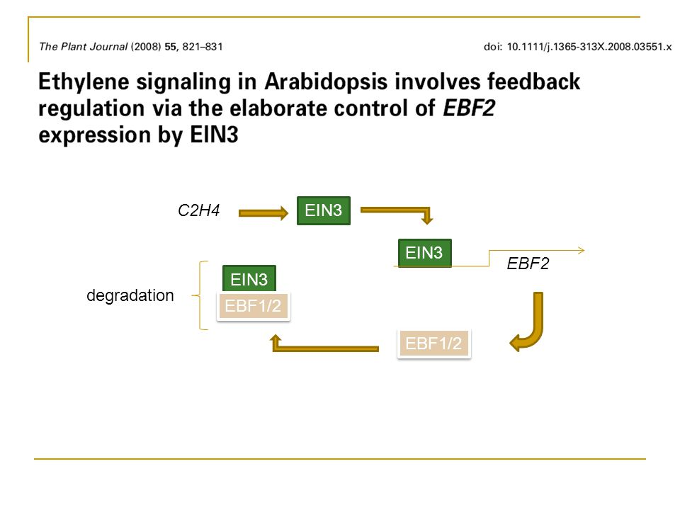 Without C2H4 CTR1 phosphorylation leads to EIN3 degradation Without C2H4 CTR1 phosphorylation leads to inactive MKK9 and EIN3 degradation With C2H4 active MKK9 phosphorylation stabilizes EIN3