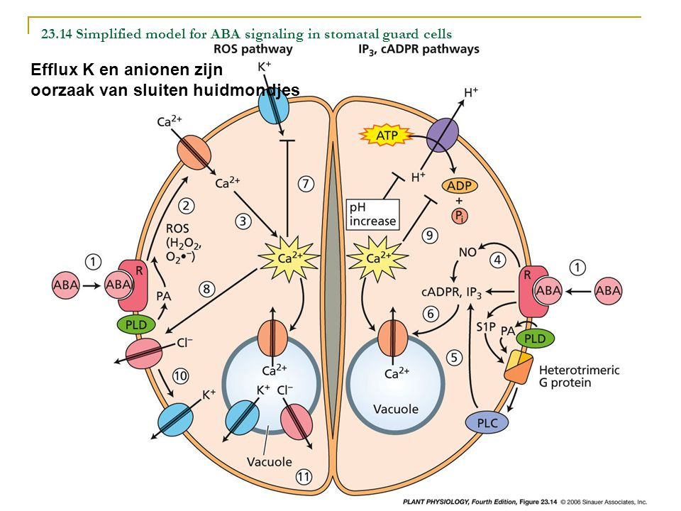 23.14 Simplified model for ABA signaling in stomatal guard cells Efflux K en anionen zijn oorzaak van sluiten huidmondjes