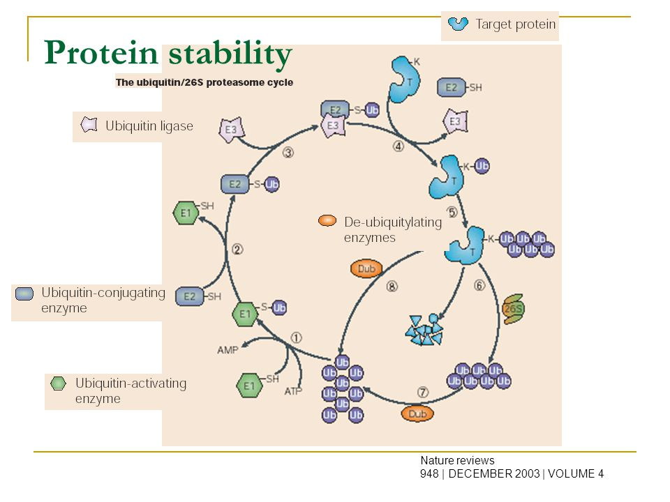 Nature reviews 948 | DECEMBER 2003 | VOLUME 4 Protein stability