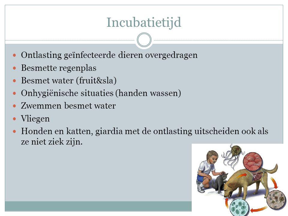 Incubatietijd Ontlasting geïnfecteerde dieren overgedragen Besmette regenplas Besmet water (fruit&sla) Onhygiënische situaties (handen wassen) Zwemmen