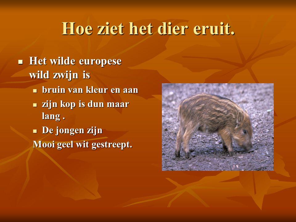 Hoe ziet het dier eruit. Het wilde europese wild zwijn is Het wilde europese wild zwijn is bruin van kleur en aan bruin van kleur en aan zijn kop is d