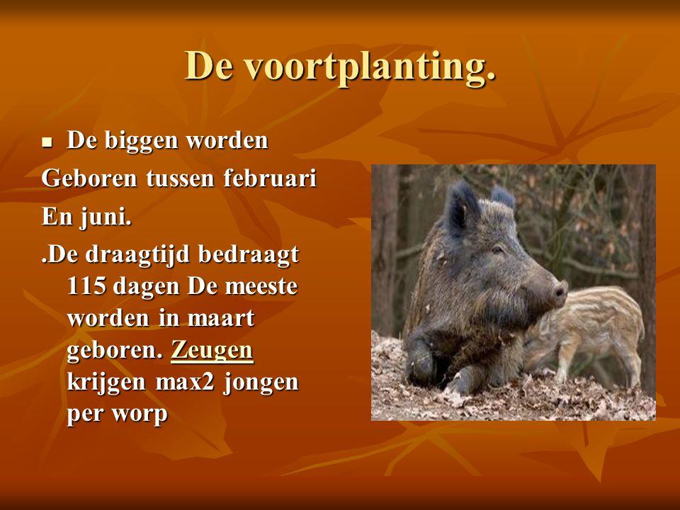 De voortplanting. De biggen worden De biggen worden Geboren tussen februari En juni..De draagtijd bedraagt 115 dagen De meeste worden in maart geboren