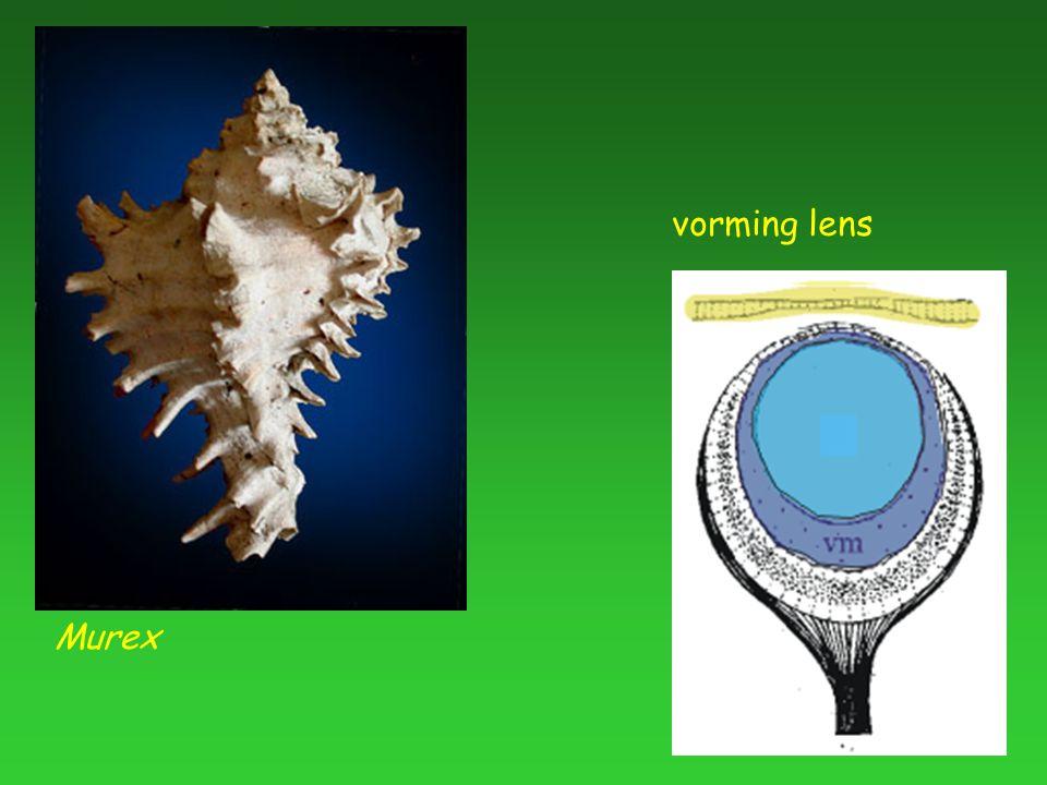 Murex vorming lens
