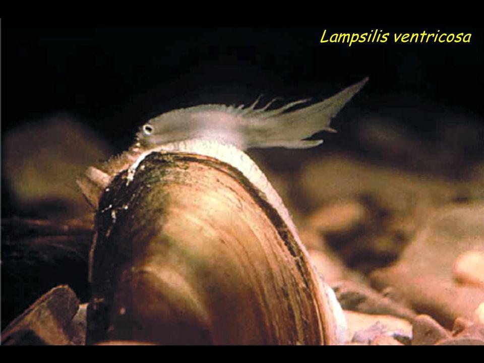 Lampsilis ventricosa