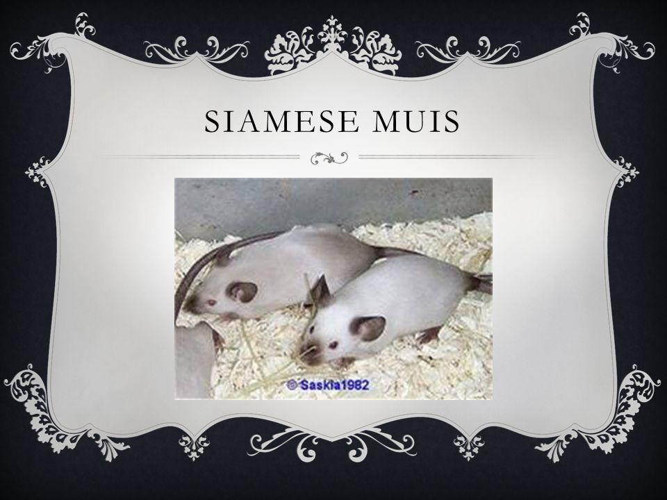 SIAMESE MUIS