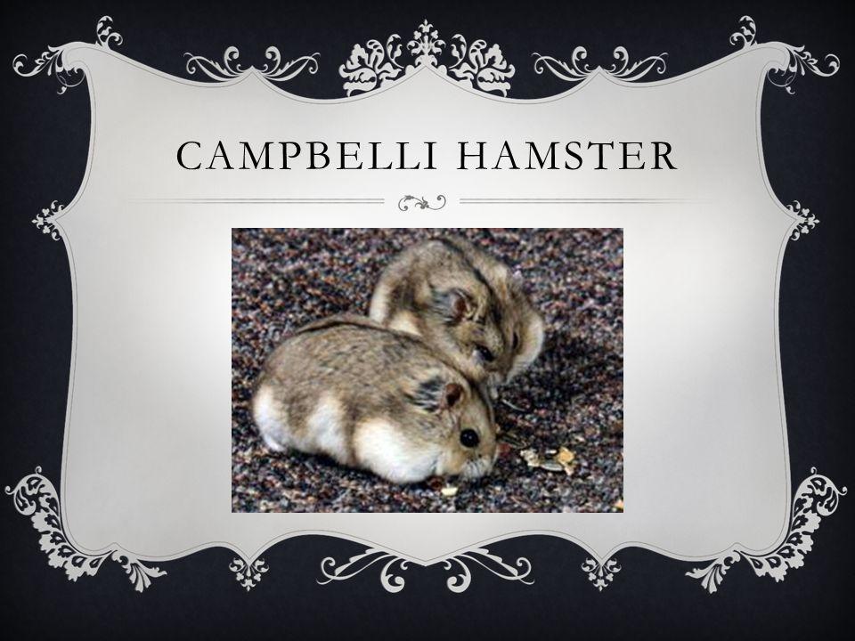 CAMPBELLI HAMSTER