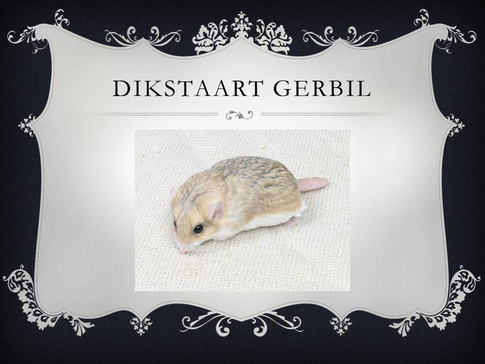 DIKSTAART GERBIL
