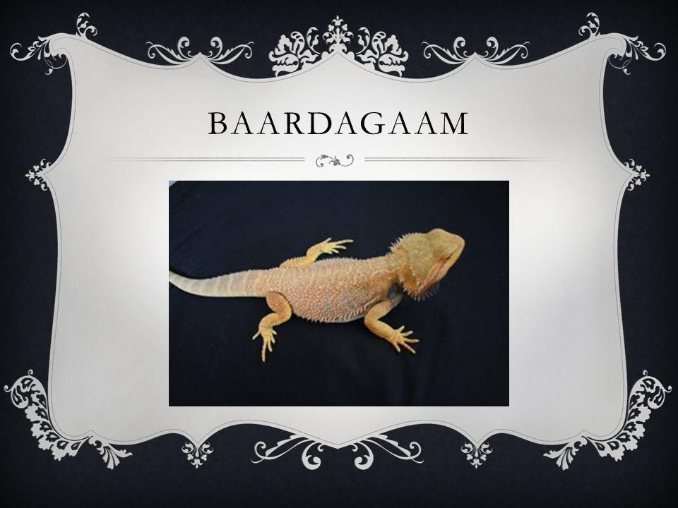 BAARDAGAAM
