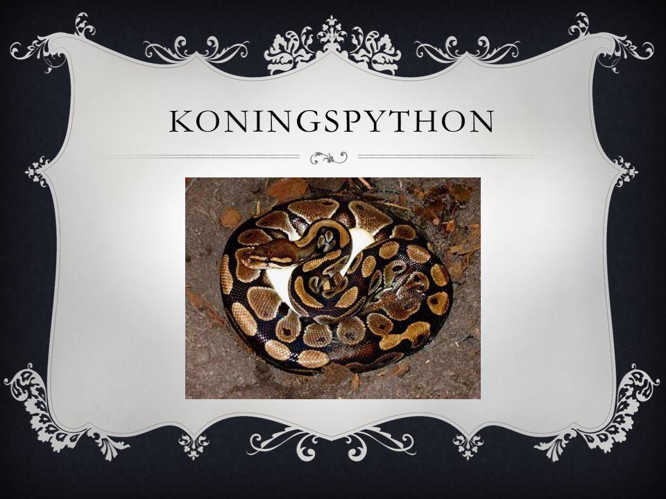 KONINGSPYTHON