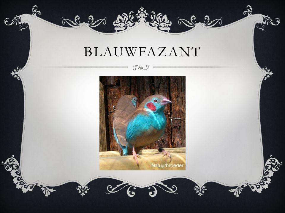 BLAUWFAZANT