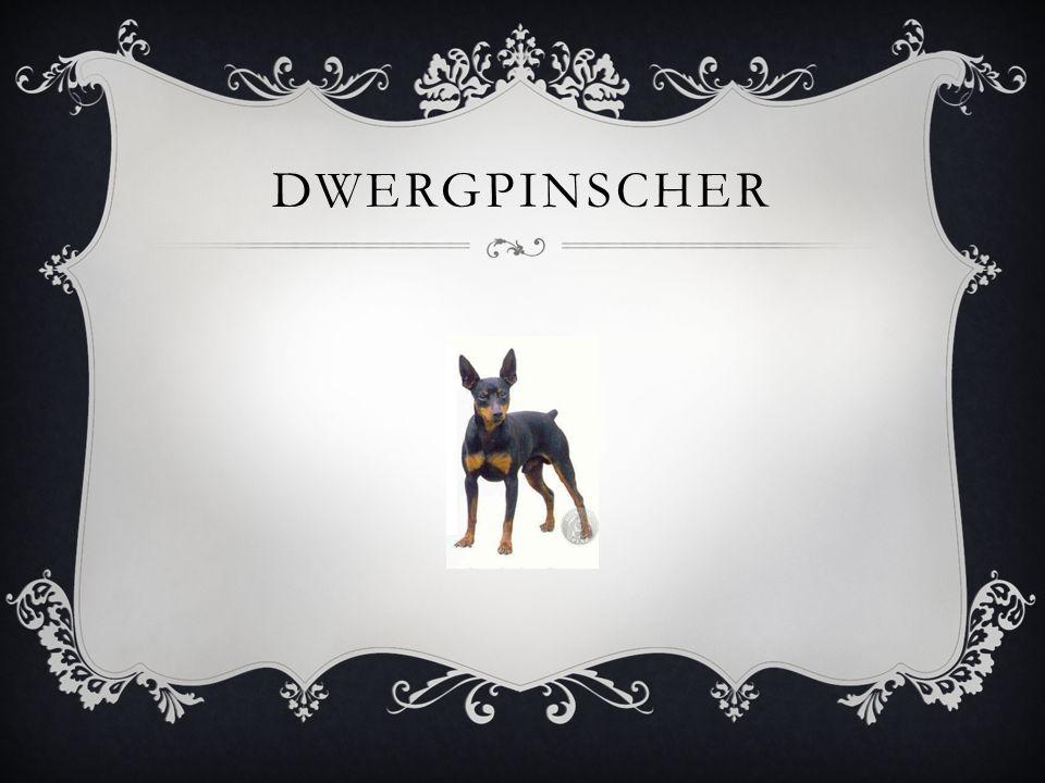DWERGPINSCHER