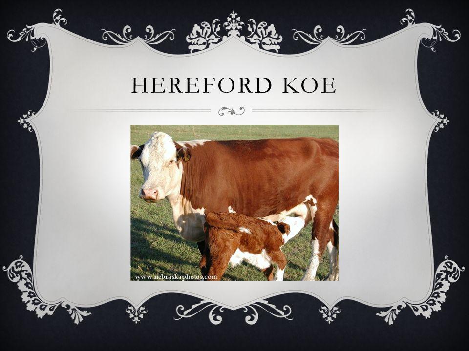 HEREFORD KOE