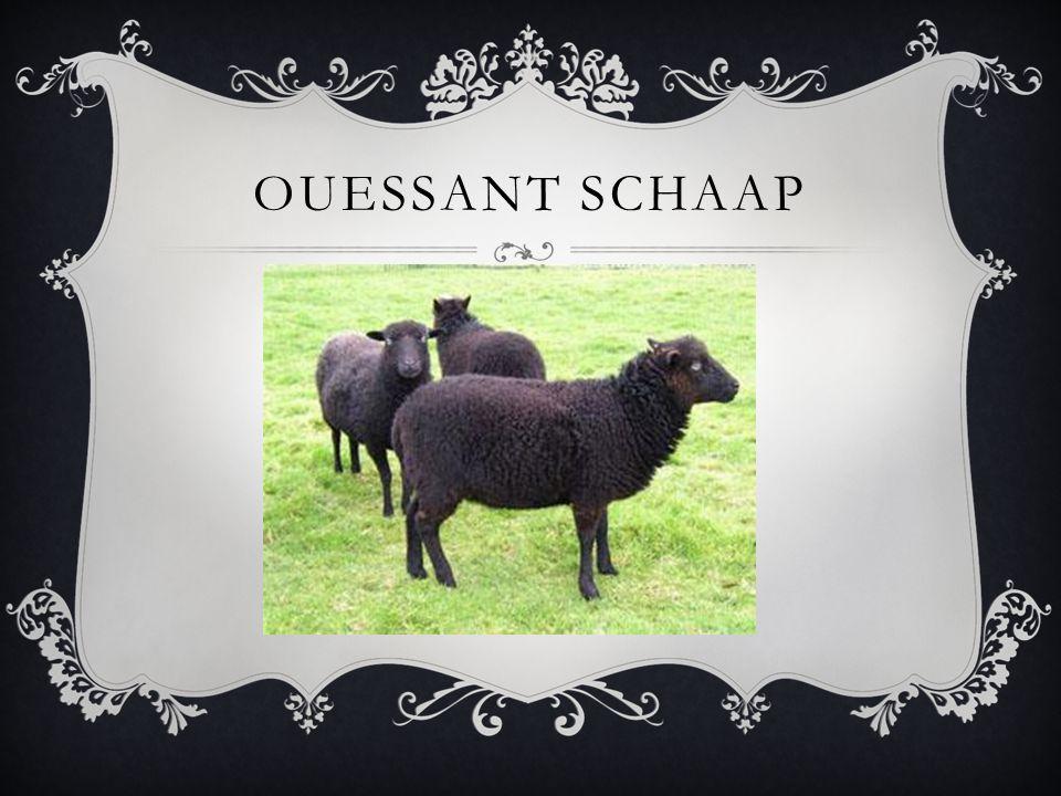 OUESSANT SCHAAP