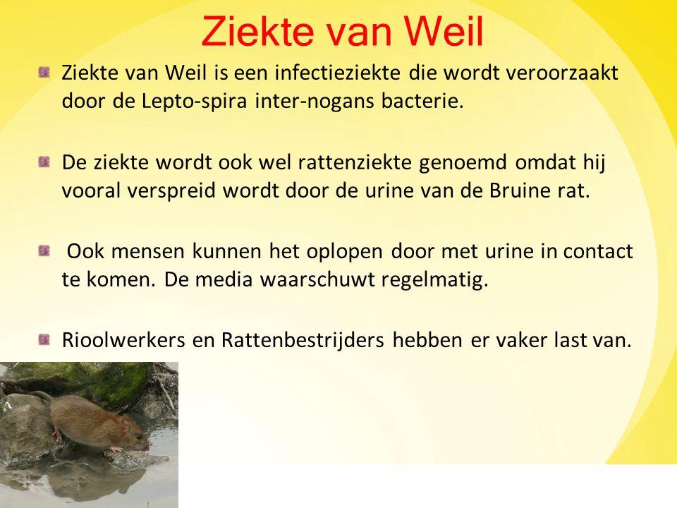 Ziekte van Weil Ziekte van Weil is een infectieziekte die wordt veroorzaakt door de Lepto-spira inter-nogans bacterie. De ziekte wordt ook wel rattenz