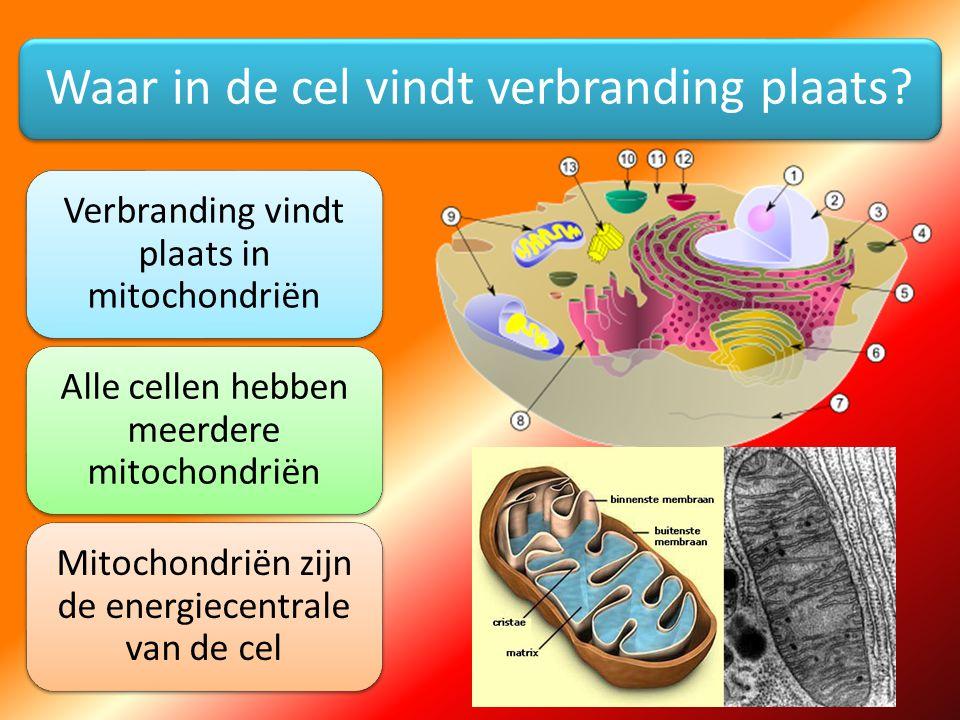Waar in de cel vindt verbranding plaats? Verbranding vindt plaats in mitochondriën Alle cellen hebben meerdere mitochondriën Mitochondriën zijn de ene