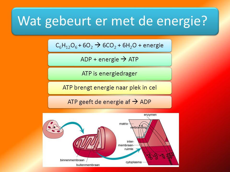 Wat gebeurt er met de energie? C6H12O 6 + 6O2  6CO2 + 6H2O + energieADP + energie  ATPATP is energiedragerATP brengt energie naar plek in celATP gee