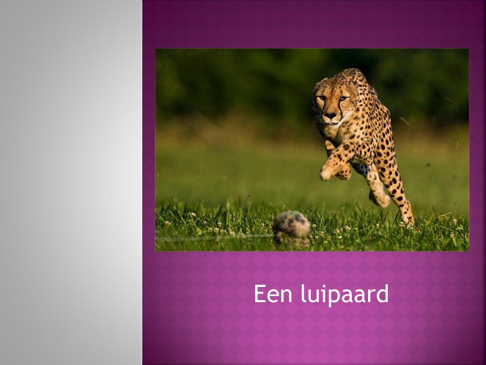 Een luipaard