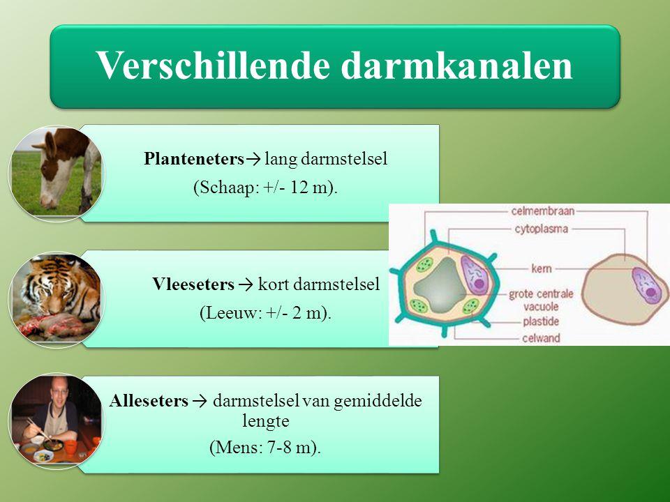 Verschillende darmkanalen Planteneters → lang darmstelsel (Schaap: +/- 12 m).