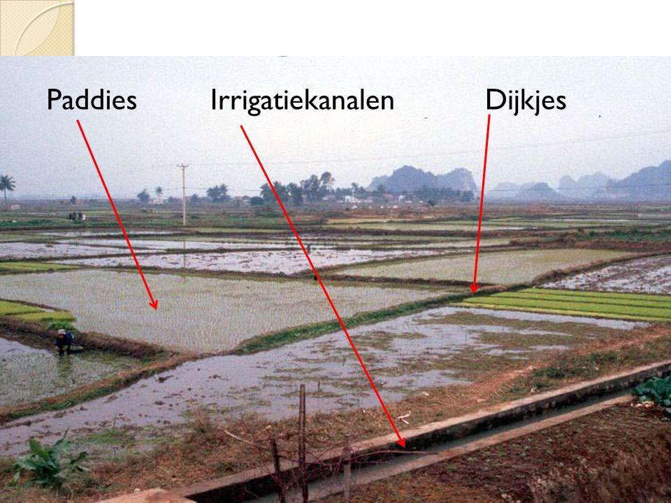Hoe rijst telen op een helling?